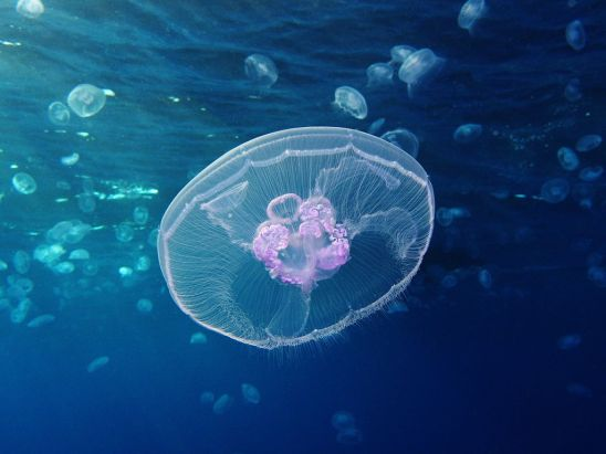 source: https://en.wikipedia.org/wiki/Jellyfish#/media/File:Moon_jellyfish_at_Gota_Sagher.JPG